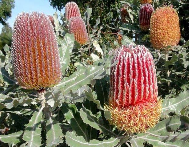 Banksia Menzeii
