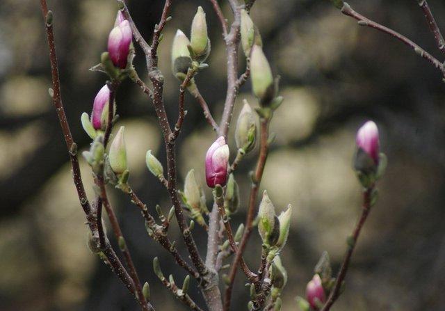 Bud Magnolia